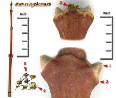 Чубушник венечный, или обыкновенный — Philadelphus coronarius L.