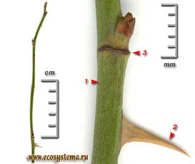 Шиповник собачий, или роза собачья — Rosa canina L. (R. ciliato-sepala Btocki)