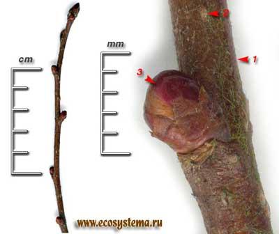 Яблоня лесная, или дикая (Malus sylvestris Mill.)