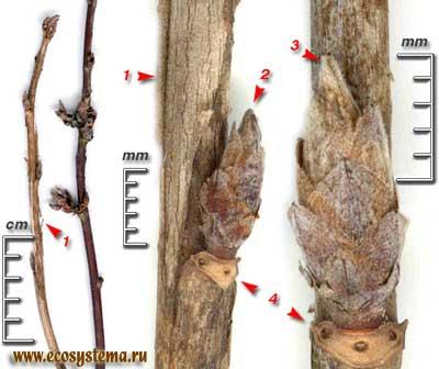 Смородина пушистая, или колосистая — Ribes spicatum Robson (R. pubescens (С. Hartm.) Hedl.)