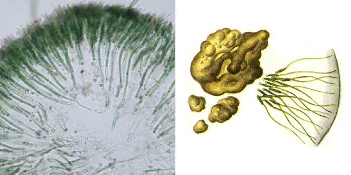 Глеотрихия плавающая — Gloeotrichia natans
