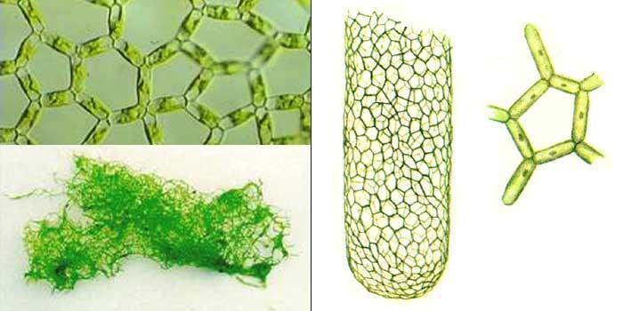 Гидродикцион сетчатый (водяная сеточка) — Hydrodictyon reticulatum