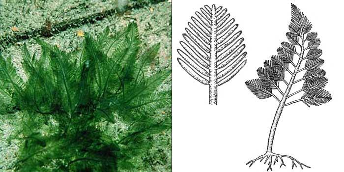 Бриопсис перистый — Вryopsis plumosa