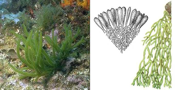 Кодиум червеобразный — Сodium vermilara