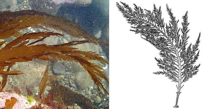 Десмарестия плоская — Desmarestia ligulata