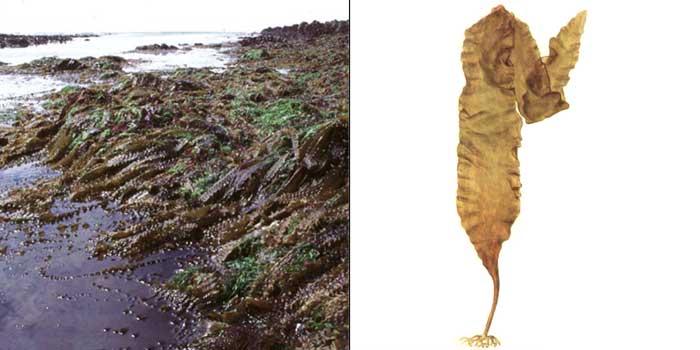 Ламинария сахаристая, или «морская капуста» — Laminaria saccharina