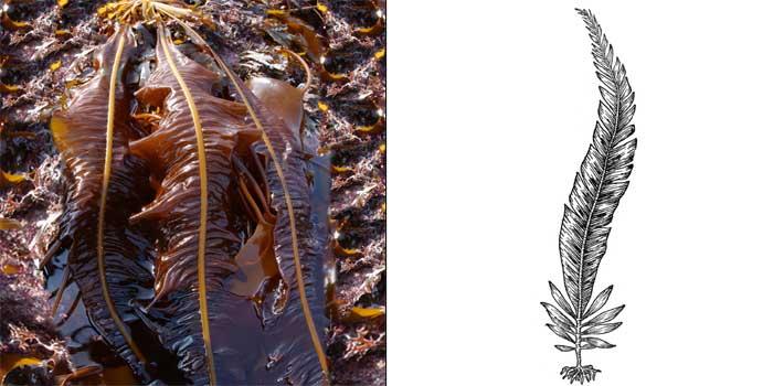 Алярия съедобная — Alaria esculenta
