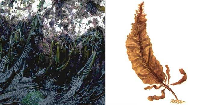 Алярия Деляпиля — Alaria pylaii
