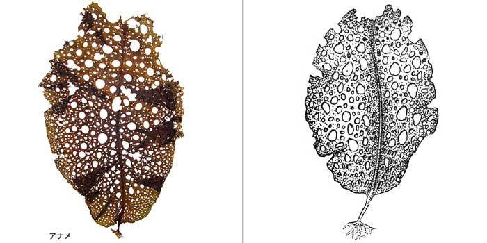 Агарум продырявленный — Agarum cribrosum