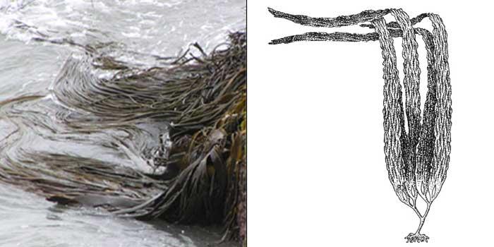 Лессония ламинариеподобная — Lessonia laminarioides