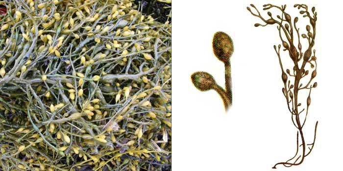 Аскофиллум узловатый — Ascophullum nodosum