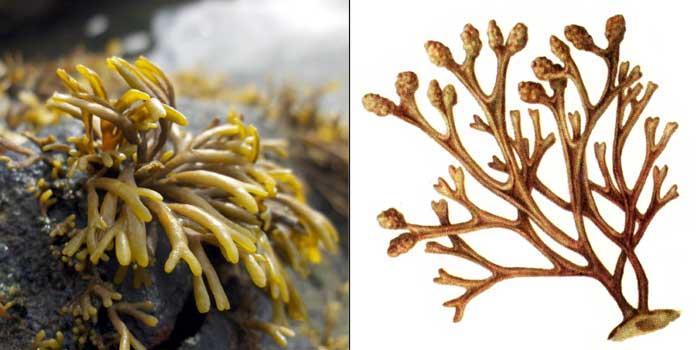 Пельвеция желобчатая — Pelvetia canaliculata