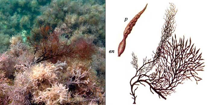 Цистозейра бородатая — Cystoseira barbata