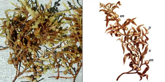 Саргассум смешанный — Sargassum confusum