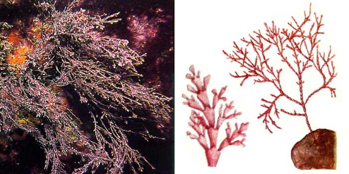 Кораллина целебная — Сorallina officinalis