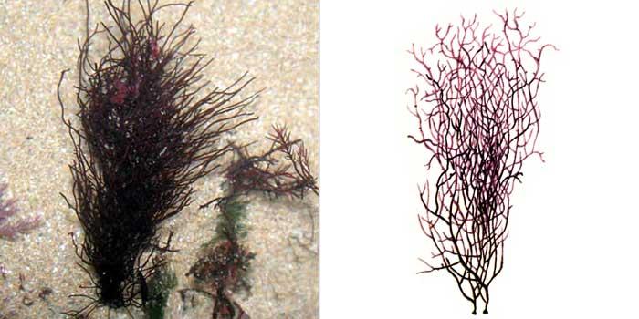 Анфельция складчатая — Ahnfeltia plicata