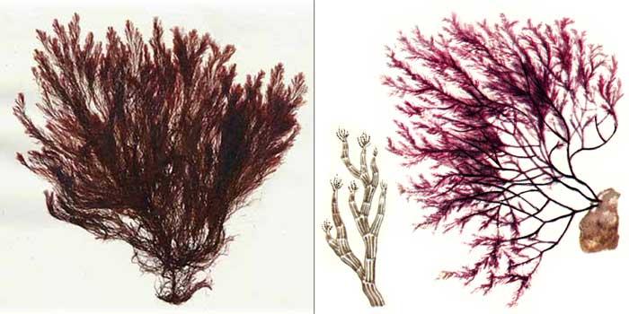 Полисифония чернеющая — Polysiphonia nigrescens