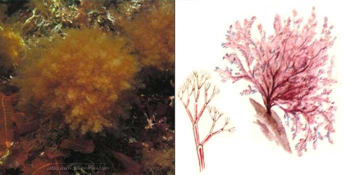 Каллитамнион щитковидный — Сallithamnion corymbosum