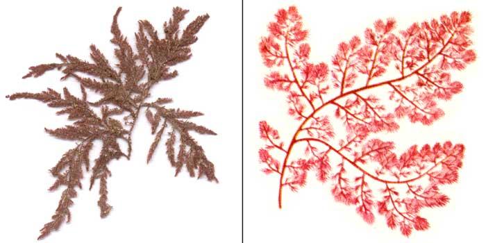 Гетеросифония перистая — Heterosiphonia plumosa