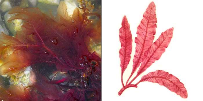 Делессерия кровяно-красная — Delesseria sanguined