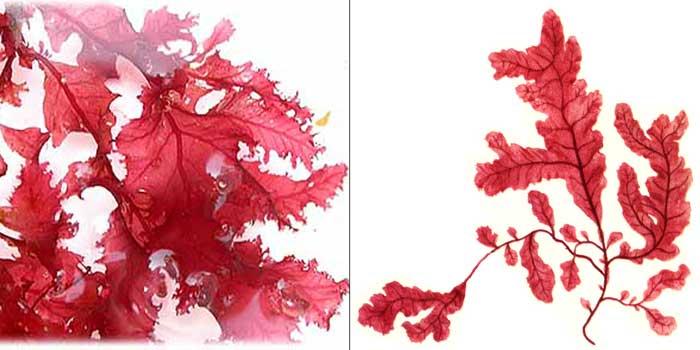 Фикодрис выемчатый — Phicodrys sinuosa