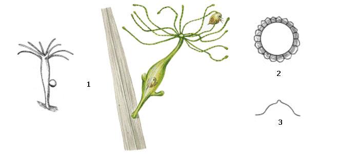 Внешний вид зеленой гидры (1),