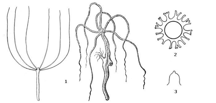 Внешний вид обыкновенной гидры