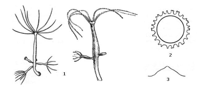 Внешний вид тонкой гидры (1),