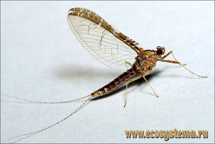 Личинка (нимфа) подёнки клоен (Cloeon sp.)