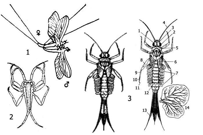Имаго и личинки подёнки клоен (Cloeon sp.): 1 - спаривание имаго, 2 - личиночка 1-й стадии (larvula), 3 - личинки поздних стадий (нимфы): 1 - голова, 2 - глаз, 3 - глазок, 4 - антенна, 5 - первый грудной сегмент, 6 - зачатки крыльев, 7 - трахейные жабры, 8 - бедро, 9 - голень, 10 - лапка, 11 - коготок, 12 - брюшко, 13 - хвостовая нить, 14 - трахейная жабра второй пары