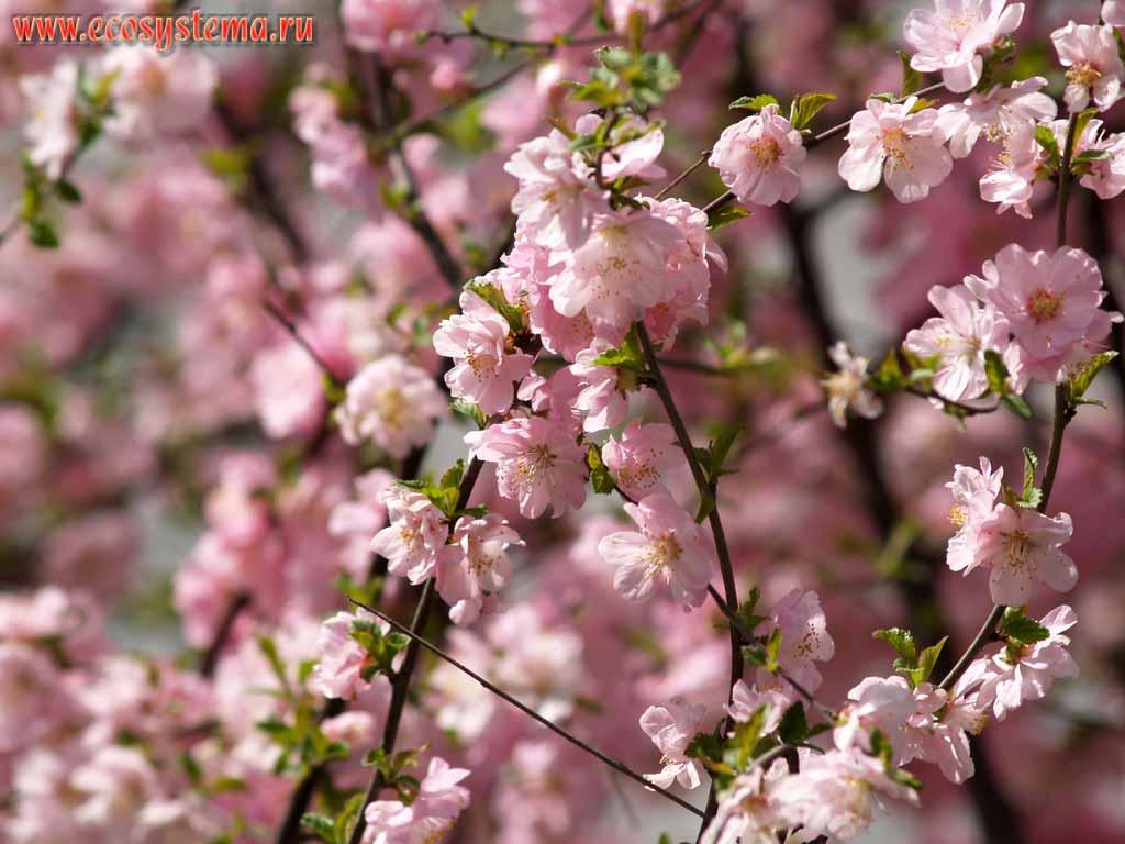 Цветущая сакура различные виды вишни