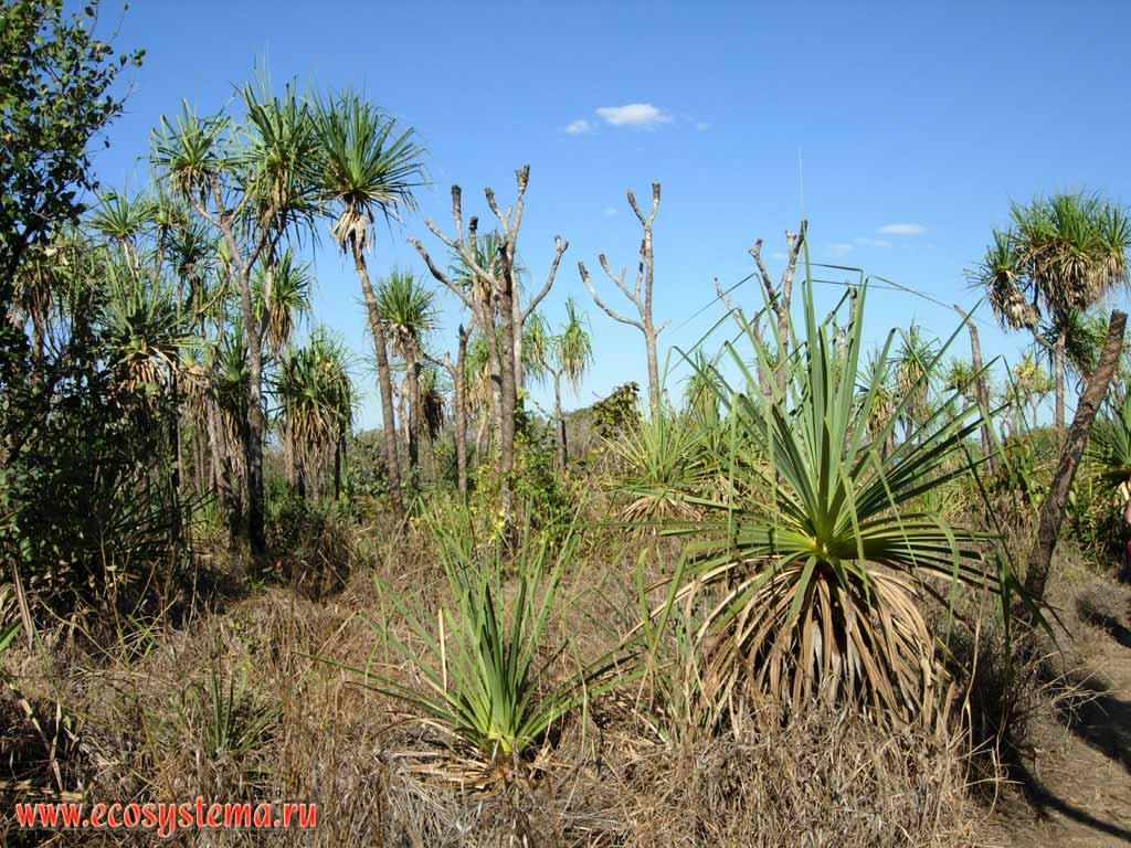 Саванновые редколесья спреобладанием