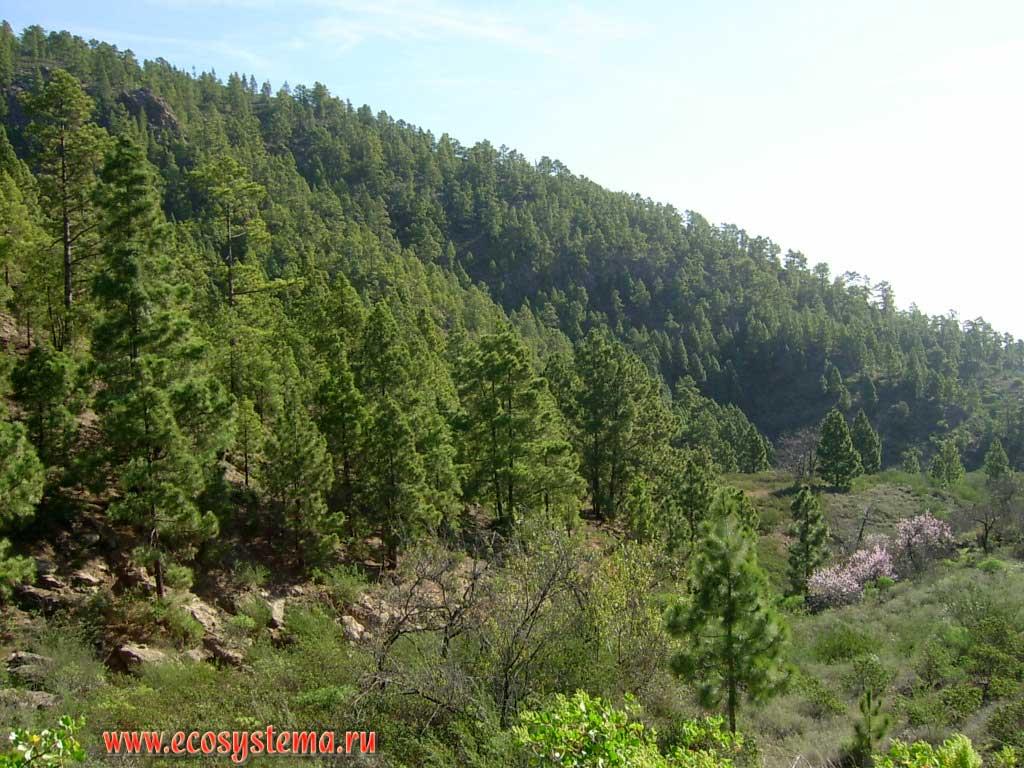 Зона светлохвойных сосновых лесов с