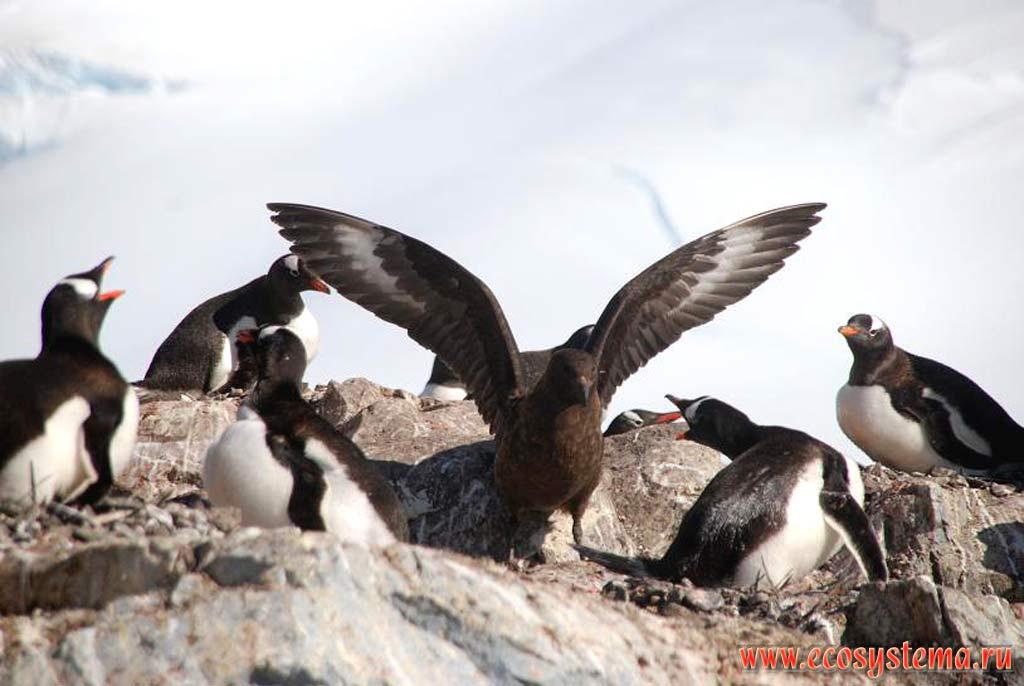 Антарктический, или южнополярный поморник (Catharacta maccormicki) (семейство Поморниковые - Stercorariidae) в колонии субантарктических пингвинов (Pygoscelis papua). Остров Винке в районе Порта Локрой, Антарктический полуостров