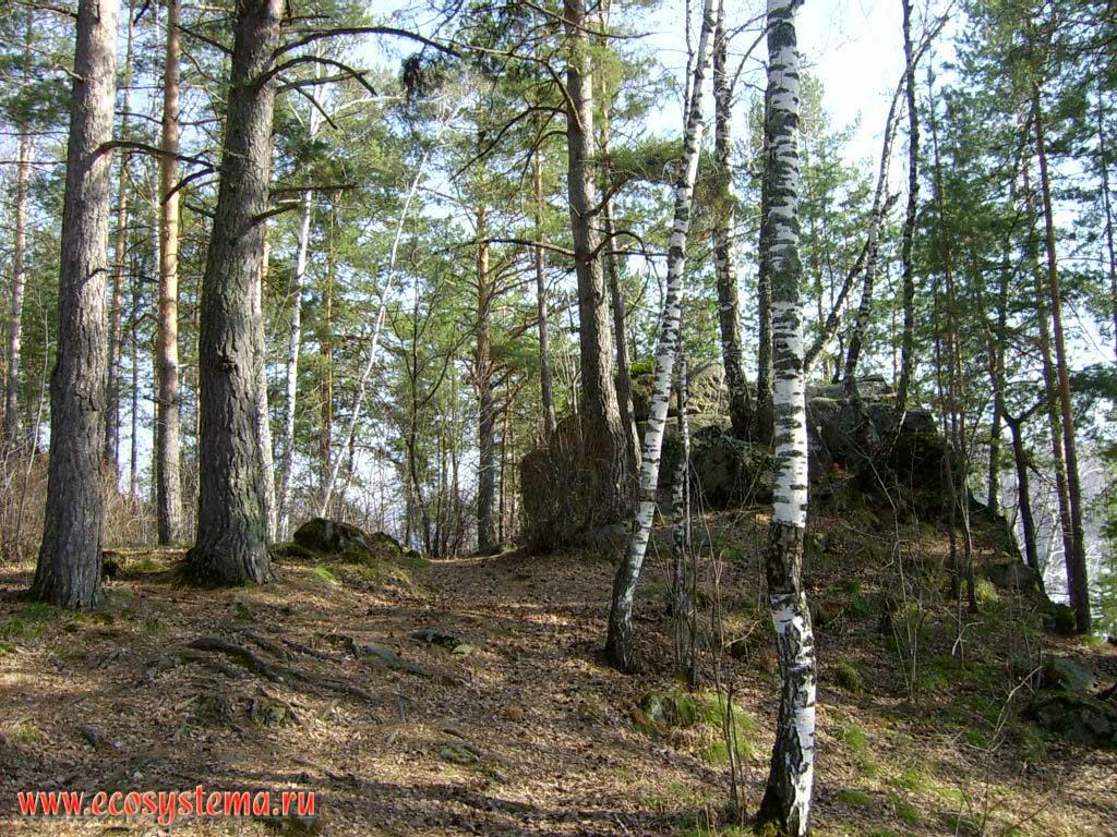 Смешанный лес сосново березовый в