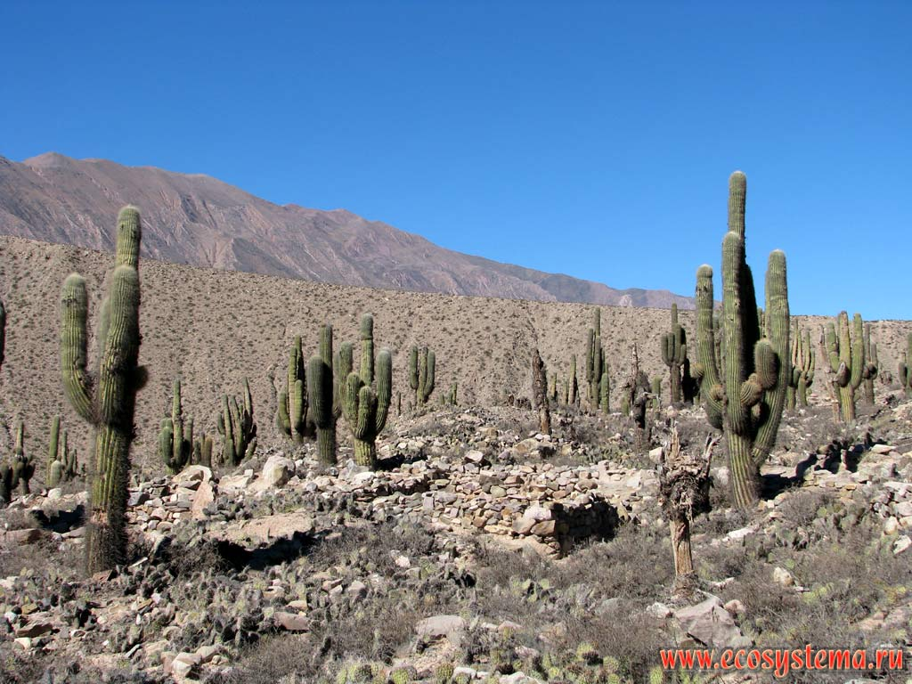 deserts cactus - photo #43