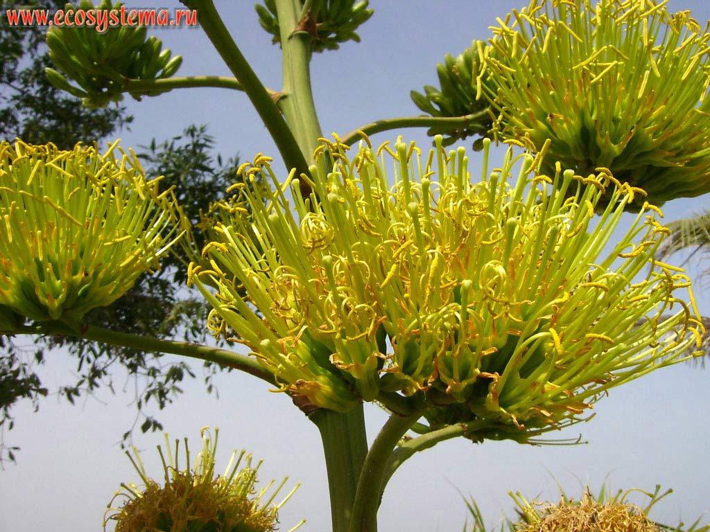 Соцветие агавы (Agave sp.) в зоне курортной застройки на берегу Персидского залива. Аравийский полуостров, эмират Умм Аль Кувейн (Umm Al Quwain), Объединенные Арабские Эмираты (ОАЭ)