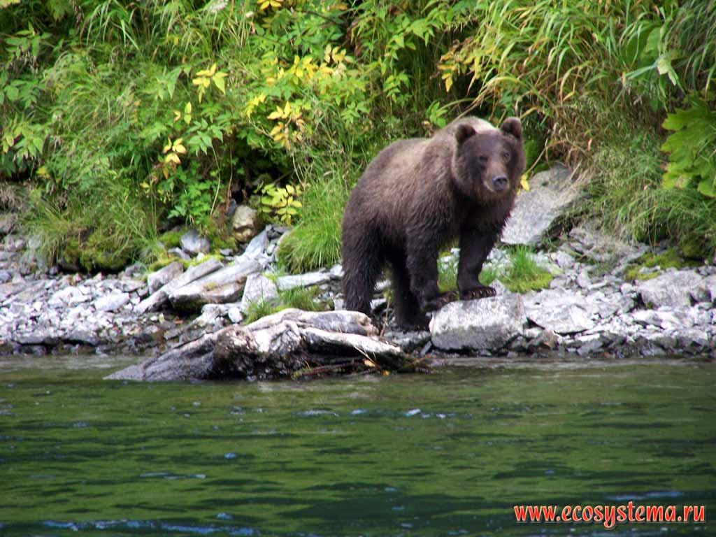 Бурый медведь ursus arctos река быстрая
