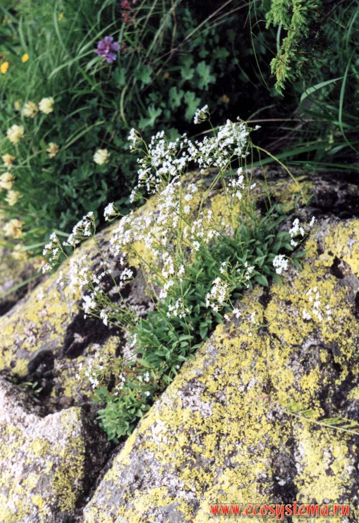 Валериана альпийская valeriana alpestris stev