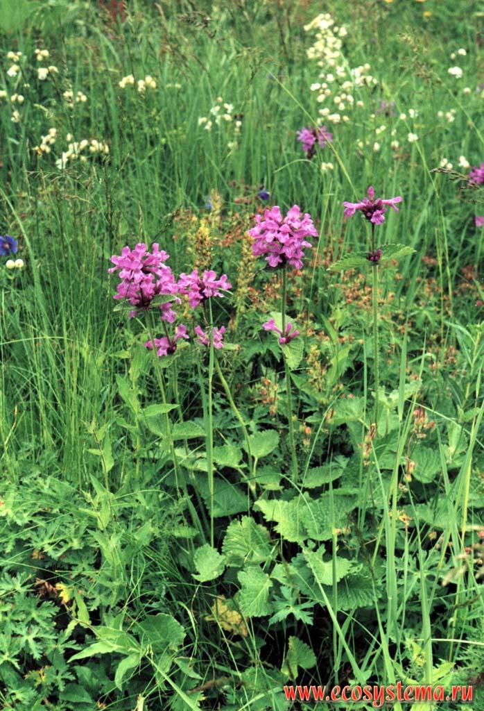 Betonica macrantha k koch в grandiflora stev ex wild
