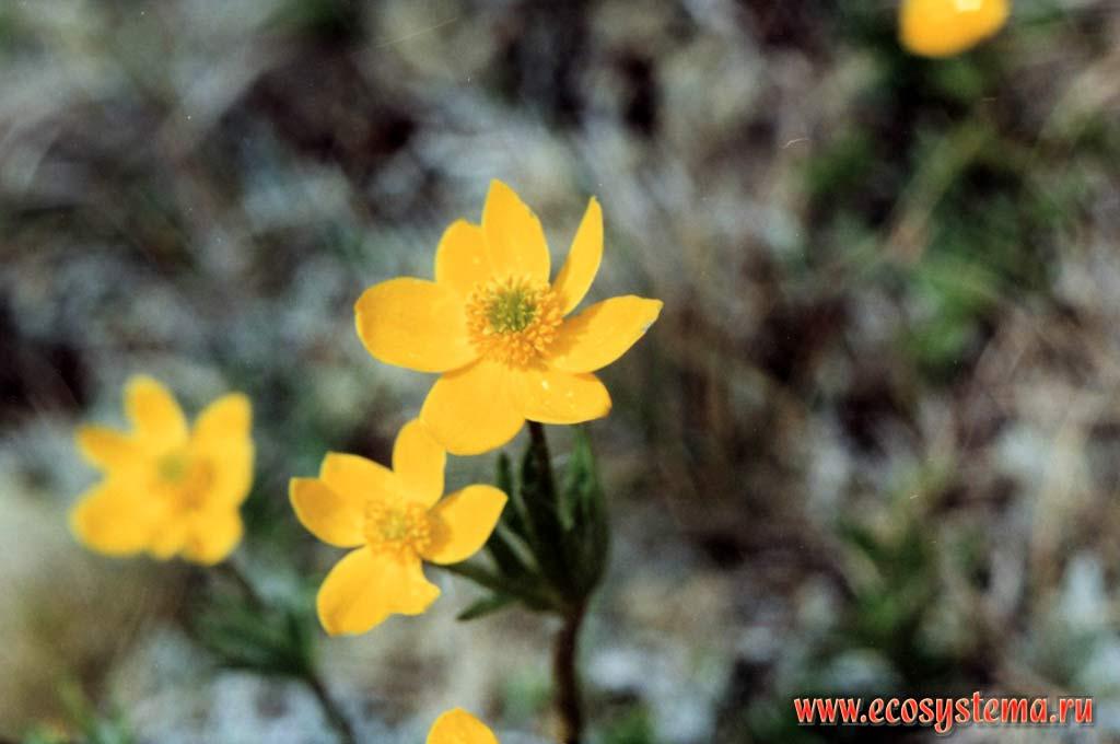 Ветреница видная anemone speciosa adam ex g pritz